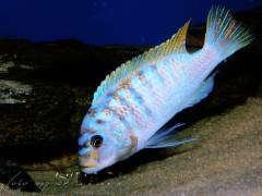 Pseudotropheus fainzilberi 'Nkanda  OB' male