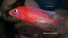 Aulonocara spec. Fire Fish