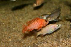 Aulonocara sp. firefish - 4-5см