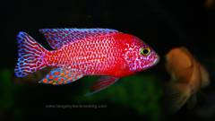 Aulonocara spec. Fire Fish