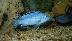 seudotropheus socolofi (самка)