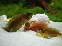 "Мои Lamprologus ocellatus ""gold"""
