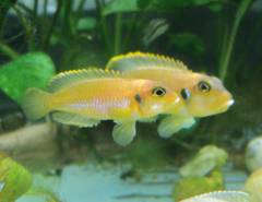 "Lamprologus ocellatus ""Gold"" (male & female)"