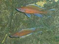 """Paracyprichromis nigripinnis """"blue neon"""""""