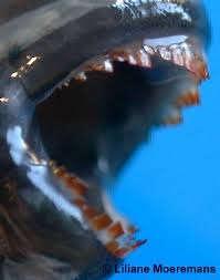 Spathodus erythrodon, зубы