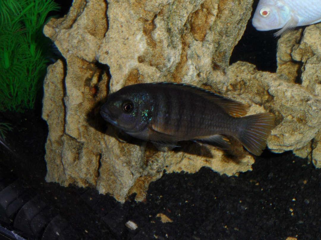 Рыбсы
