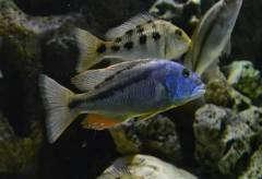 Aristochromis christyi / Аристохромис Кристи