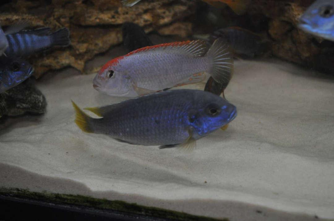 "Pseudotropheus sp. ""red top ndumbi"" vs. Pseudotropheus sp. ""acei"""
