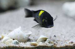 "Tropheus Sp. Black ""lueba"" 2"