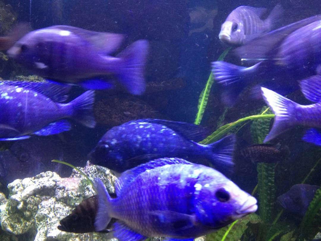 """Placidochromis sp. """"Phenochilus Tanzania"""" 2"""