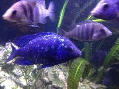"""Placidochromis sp. """"Phenochilus Tanzania"""" 1"""