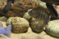 Petrochromis famula Kigoma female