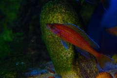 """Paracyprichromis nigripinnis """" blue neon"""""""
