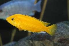 Labidochromis caeruleus «Yellow»