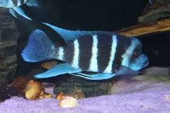 Cyphotilapia gibberosa blue zaire Kapampa