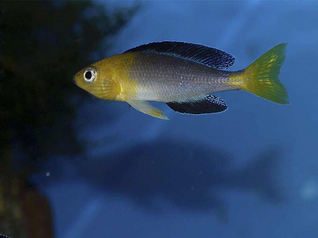 Самец  Cyprichromis leptosoma Jumbo Yellow Head