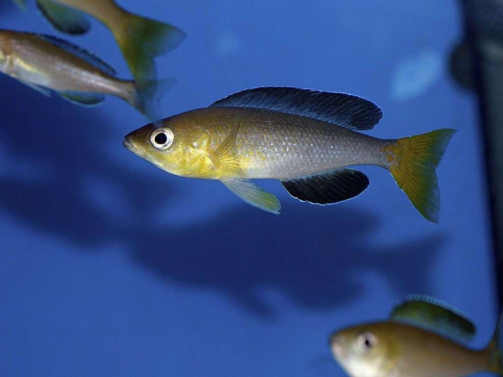 Самка Cyprichromis leptosoma Jumbo Yellow Head