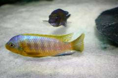 Petrotilapia flaviventris 'Chizumulu'