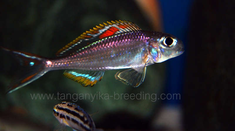 Xenotilapia nigrolabiata 'red princess'