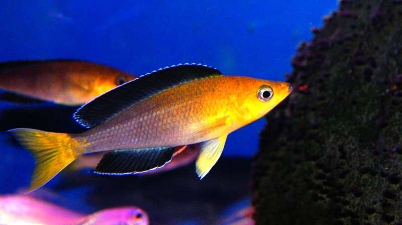 Cyprichromis leptosoma yellow head jumbo