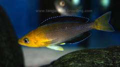 Cyprichromis leptosoma yellow head jumbo
