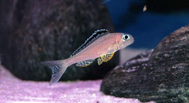 Xenotilapia papilio 'Tembwe II