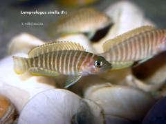Lamprologus similis (F1)