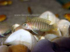 Lamprologus similis F1