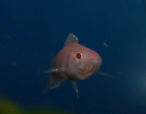 Paracyprichromis nigripinnis ' blue neon' albino