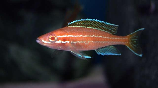 Paracyprichromis nigripinnis 'blue neon' albino