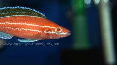 Paracyprichromis nigripinnis blue neon albino