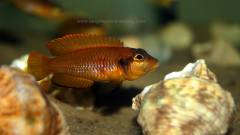 Lamprologus ocellatus orange F1