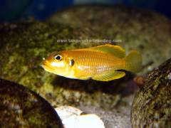 Lamprologus ocellatus gold F1