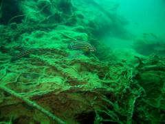 julidochromis Reg 2942 111144