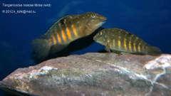 Tanganicodus irsacae Moba (wild) пара