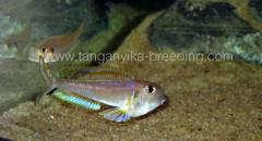 Xenotilapia bathyphilus isanga