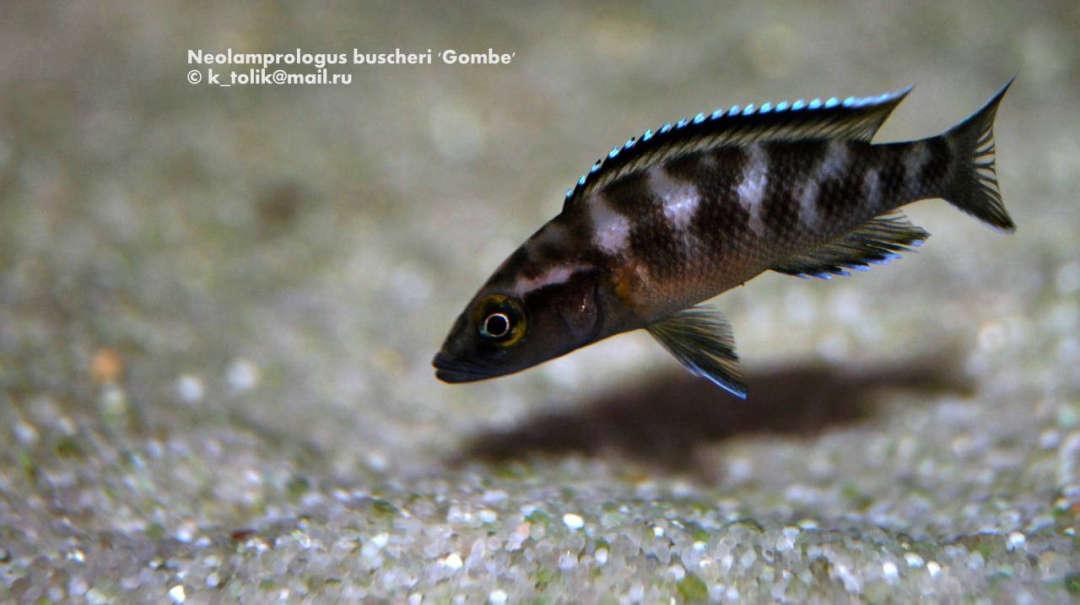 Neolamprologus buscheri 'Gombe'