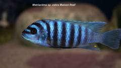 Metriaclima sp. zebra Maison Reef