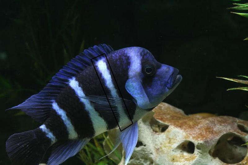 Cyphotilapia frontosa Moba Blue Zaire 3