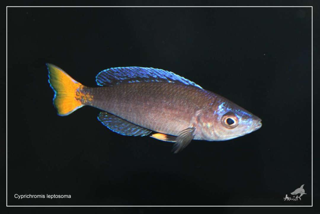 Циприхромис (Лептозома) желтохвостый (Cyprichromis leptosoma)