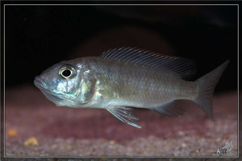 Васильковый хаплохромис (Sciaenochromis fryeri) самка с потомством