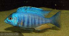 "Placidochromis sp. ""electra blue"", самец"