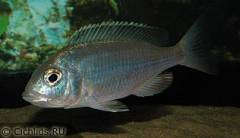 "Placidochromis sp. ""electra blue"", самка"