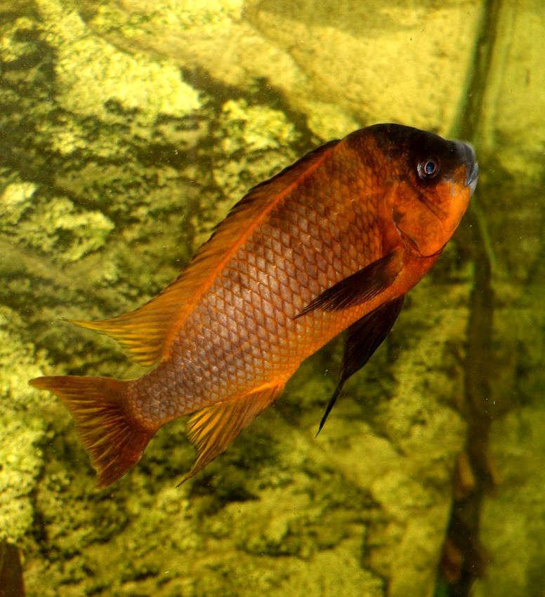 """Petrochromis sp. """"Red Bulu Point"""""""