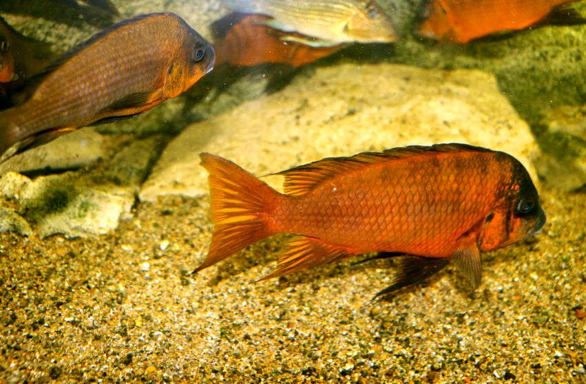 "Petrochromis sp. ""Red Bulu Point"""