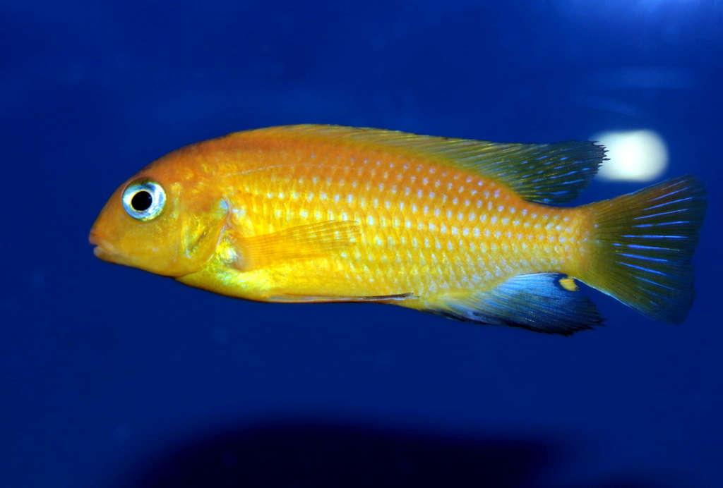 Tropheops macrophtalmus Kirondo