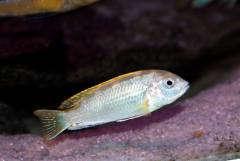 """Labidochromis sp. """"perlmutt"""""""