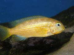 Pseudotropheus tropheops 'Kirondo blue cap'