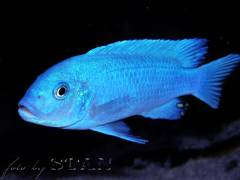 Metriaclima callainos blue OB male