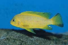 """Pseudotropheus sp. """"daktari"""" Hai Reef"""